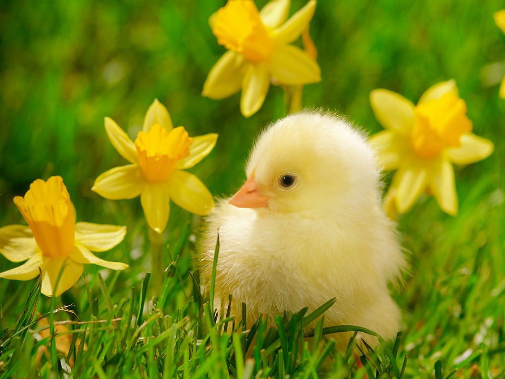 spring_chick_and_daffodils.jpg