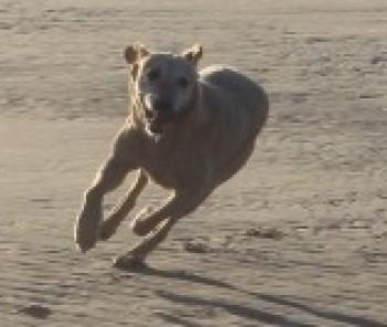 Tess Labrador lost in Formby.jpg