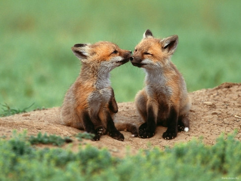 baby-foxes.jpg