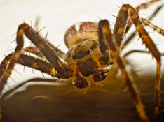 Giant spiders to invade British homes this autumn