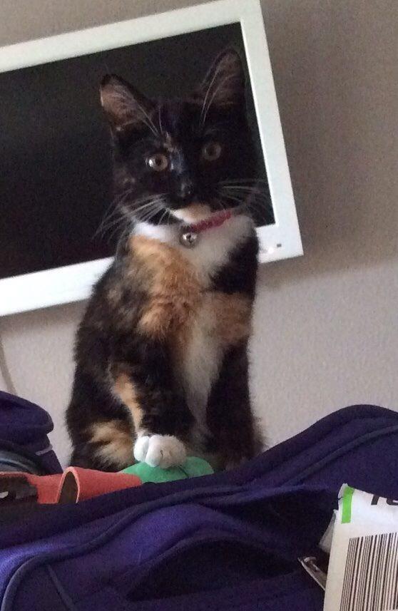 Skye cat missing from Tarn Road, Formby.jpg