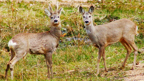 Beautiful Roe Deer have been filmed on Rimrose Valley which is still under threat of development