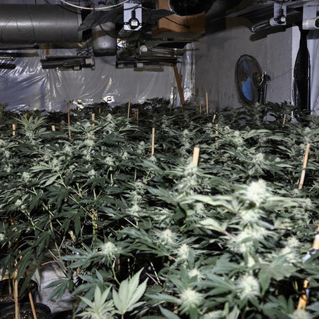 A 16 year-old male arrested after almost 900 cannabis plants were found in Sefton