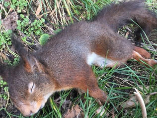 Dead Formby Red Squirrel went up for sale on eBay for 3 days before being removed