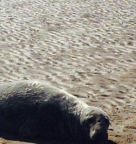 Seal on Formby Beach.jpg.jpg