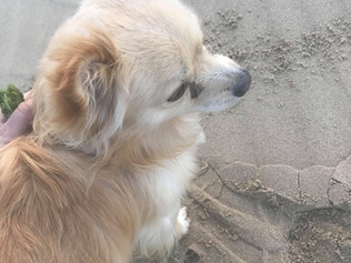 Teddy has now been REUNITED  *Dog found on Formby Beach