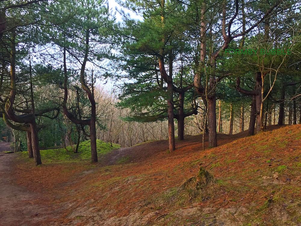 Pinetrees3.jpg.jpg