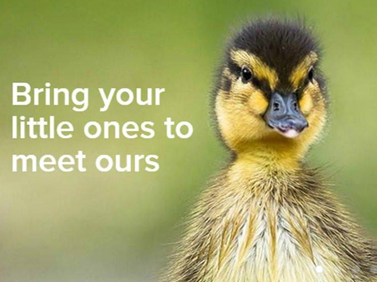 Martin Mere new ducklings.jpg