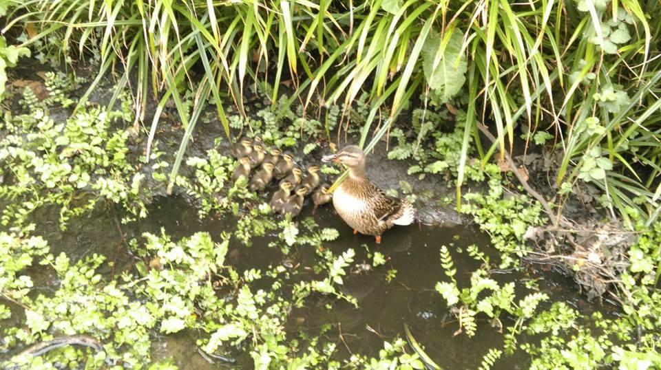 Ducks on Long Lane Formby - Photo by Ellie Vickers.jpg