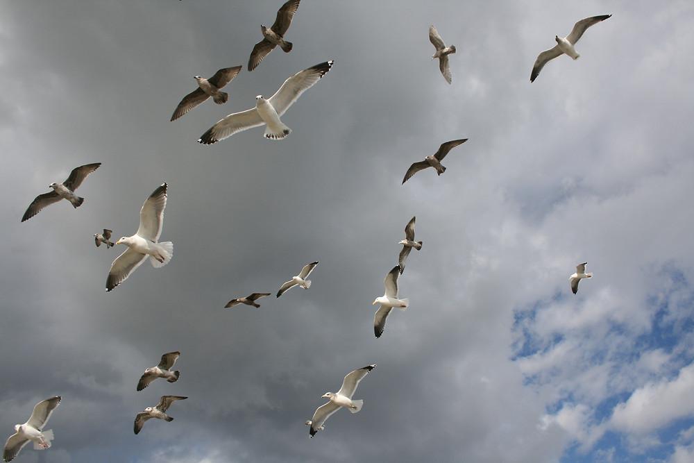 Seagulls over Formby.jpg