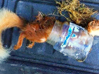 Red squirrel has died after becoming trapped inside a discarded plastic jar