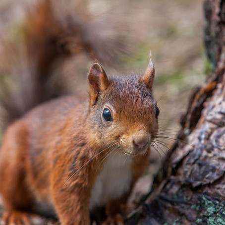 It's National Squirrel Appreciation Day. Formby in Sefton is one of the few places In UK to see them