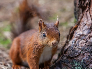 It's National Squirrel Appreciation Day and Formby is one of the few places In UK to see them