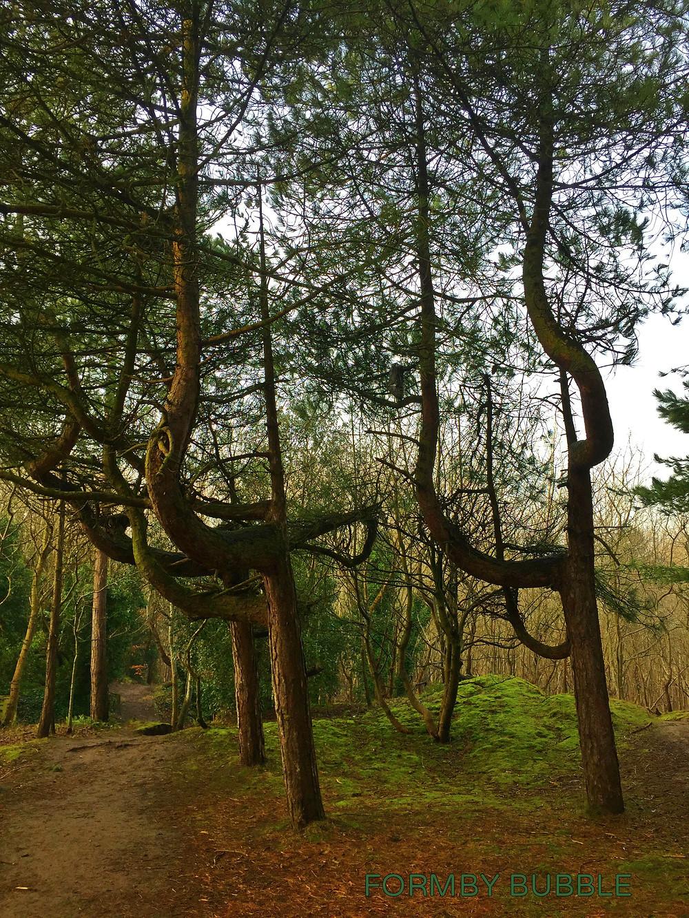 Pinetrees2.jpg.jpg