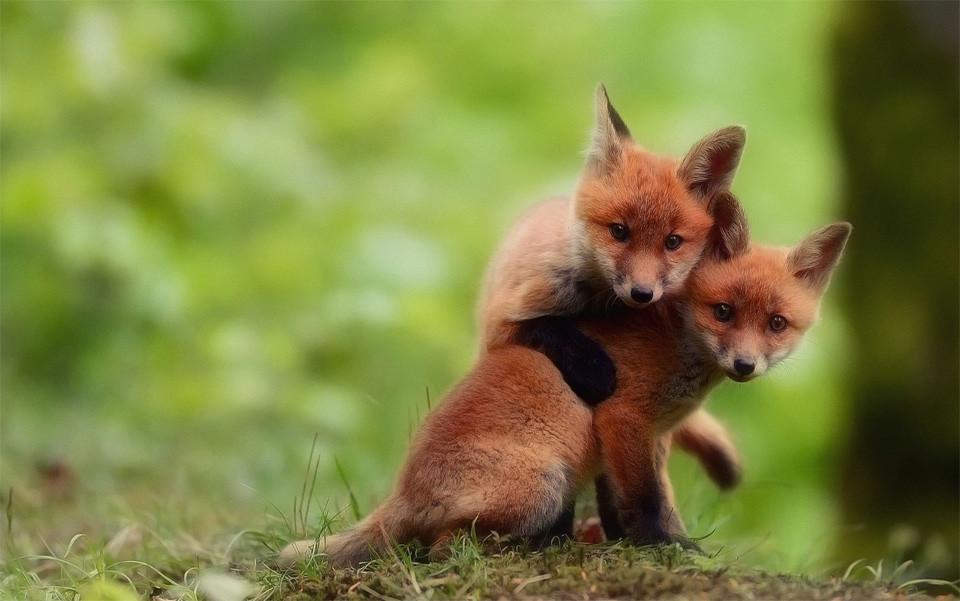 two-cute-baby-fox-brothers.jpg