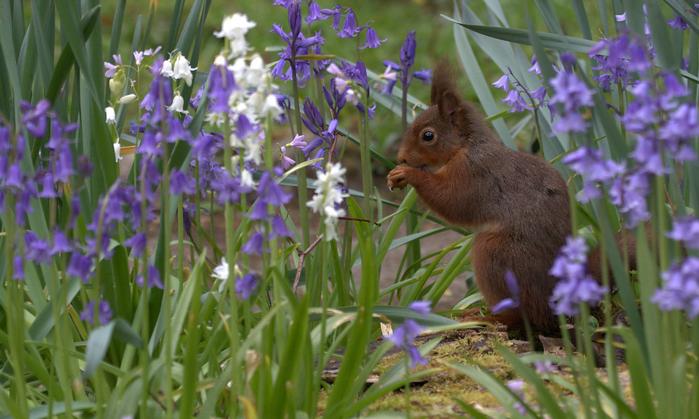 Red Squirrel in the Bluebells by Peter Skillen -.jpg