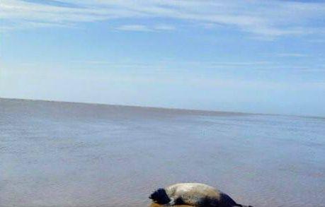 Seal on Formby Beach2 Photo Taffi Thomas.jpg.jpg