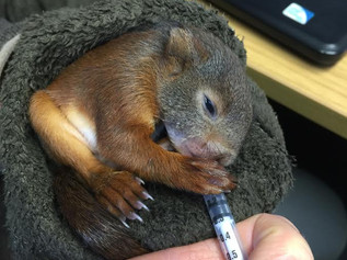 Baby Red Squirrel found on forest floor is recovering with Wildlife Trust