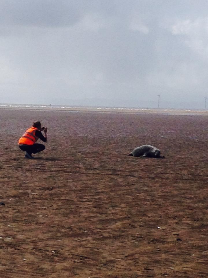 Seal on Formby Beach. Photo by Taffi Thomas.jpg