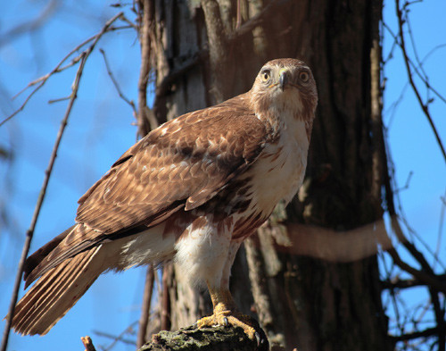 red_tailed_hawk2.jpg