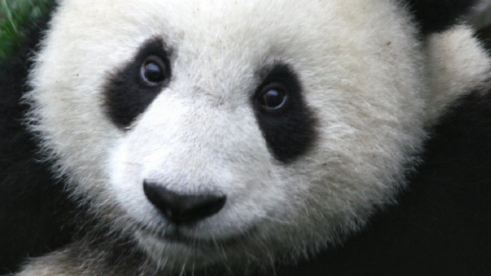 """""""Panda-monium!"""""""