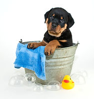Silly Rottweiler puppy looking confused
