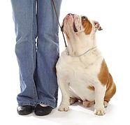 obedience training - english bulldog sit
