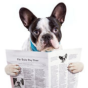 French bulldog reading newspaper over wh