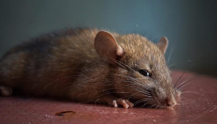 ネズミ1.jpg