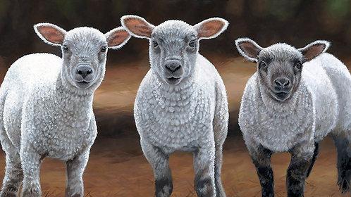 Sheep Trio