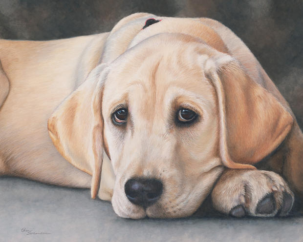 Lovable Yellow Lab Pup