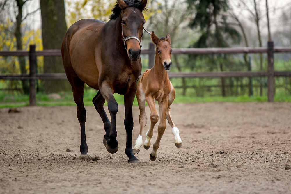 Mare and foal - Foalforsale.com - photo by Sabine Smit