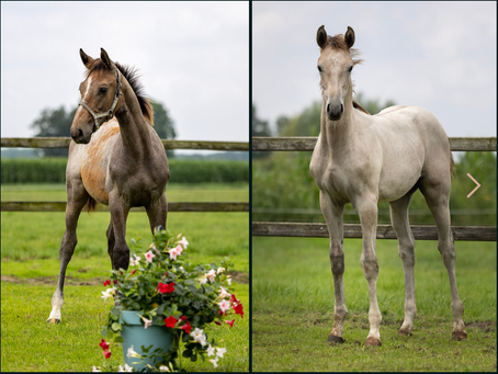 For Sale! Two jumping foals directly related to 1.60m jumping stallion Daddy Cool