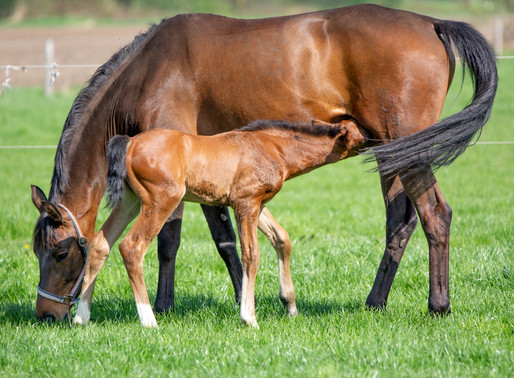 Export certification of your foal possible again in the Netherlands