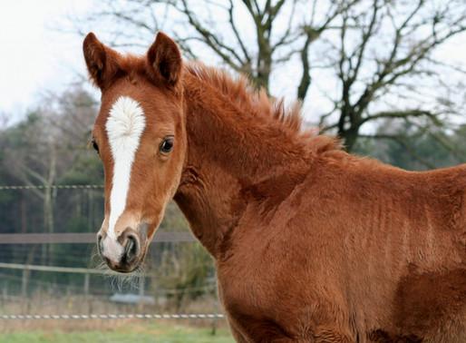 Kunnen pony veulens ook op jullie website geadverteerd worden?