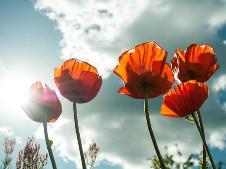 Poppy Talk: In Flanders Fields