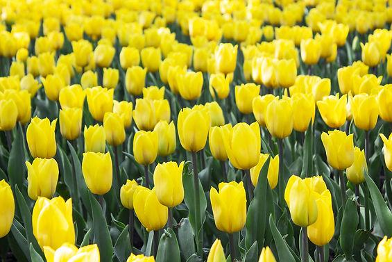 bigstock-Yellow-Tulips-Flower-Flower-I-3