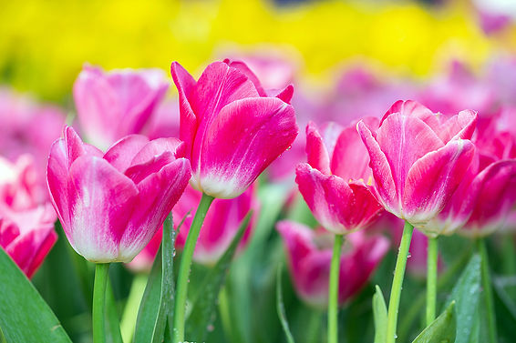 bigstock-Tulip-Flower-In-Garden-Tulip--3