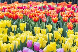 bigstock-Tulip-Flower-Flower-In-Garden-2
