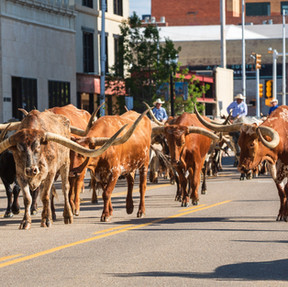 Cattle Drive Photo Contest Submissionjpg