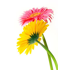 bigstock-Pink-and-yellow-gerber-flowers-