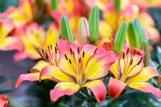 bigstock-Orange-Yellow-Lily-Flower-Bea-3
