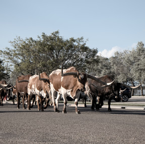 Cattle Drive Photo Contest Submission