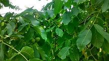 Nut Tree Nursery