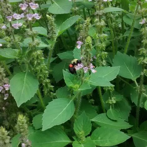 Holy Basil (Ocimum spp.)