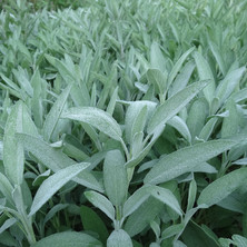 Sage (Salvia officinalis)