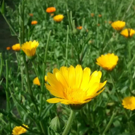 Calendula (Calendula officinalis var. Resina & Erfurter Orangefarbige)
