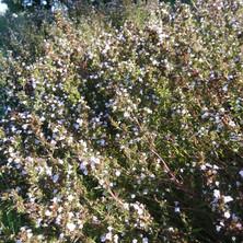 Summer Savory (Satureja hortensis)