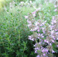 Thyme var. German Winter (Thymus vulgaris)