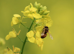 Plant substances in honeybee supplementation
